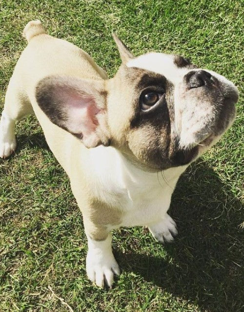 6 Facts About French Bulldogs