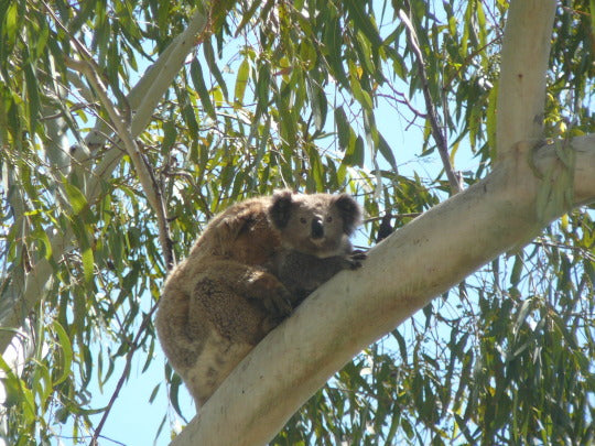 Local Koala Bears Thriving