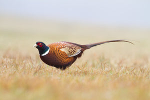 First pheasant hunt? What to know