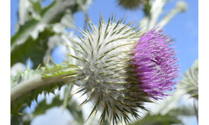 Cotton Thistle Plant - A Powerful Repairing Agent