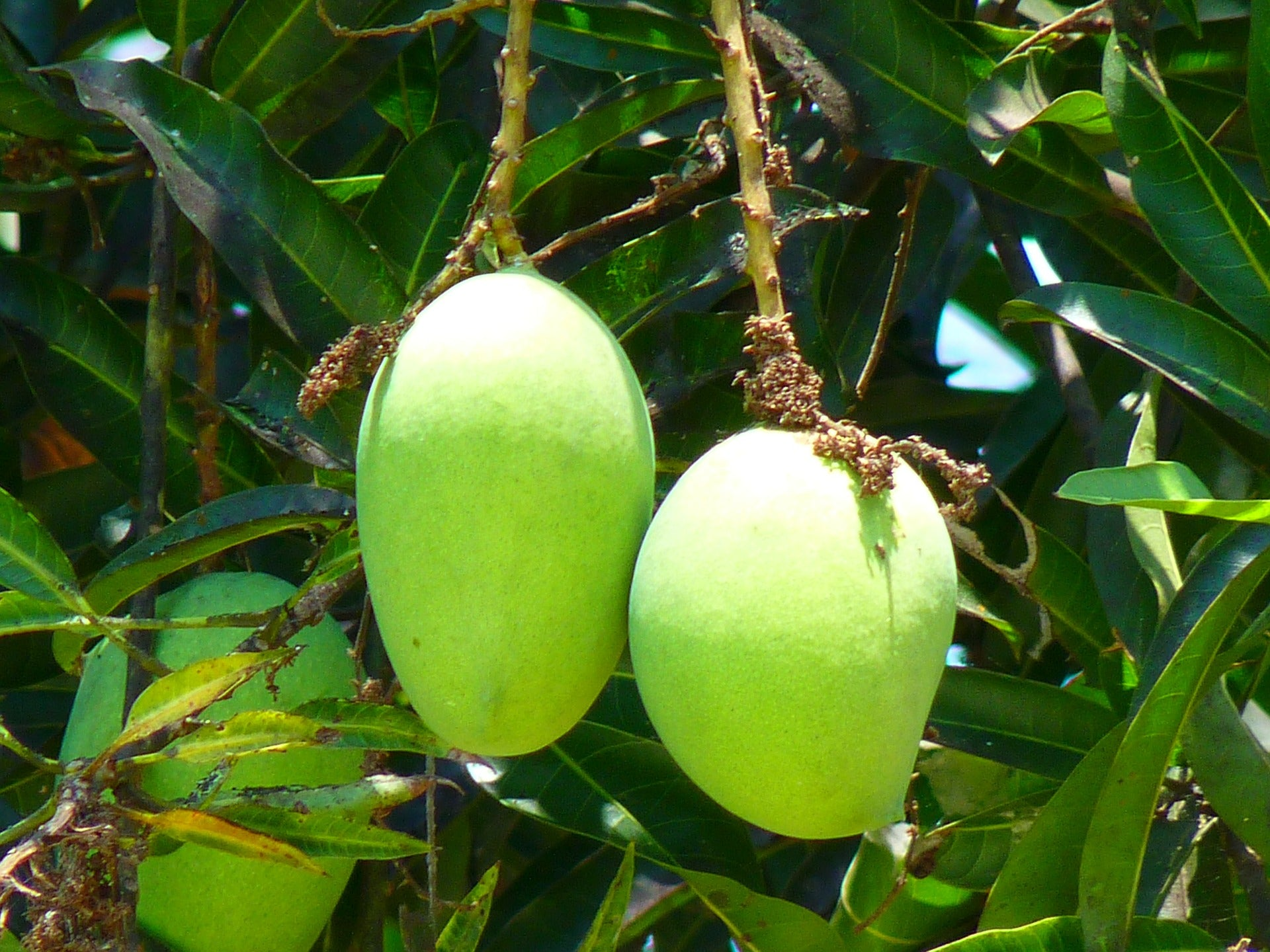 5 Fun Facts About Philippine Green Mangoes