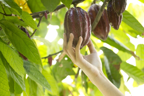 cacao farming in davao