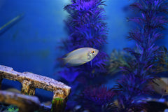 Gold Honey Gourami