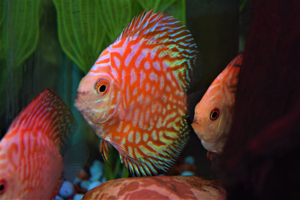 "3"" Pigeon Blood Discus"