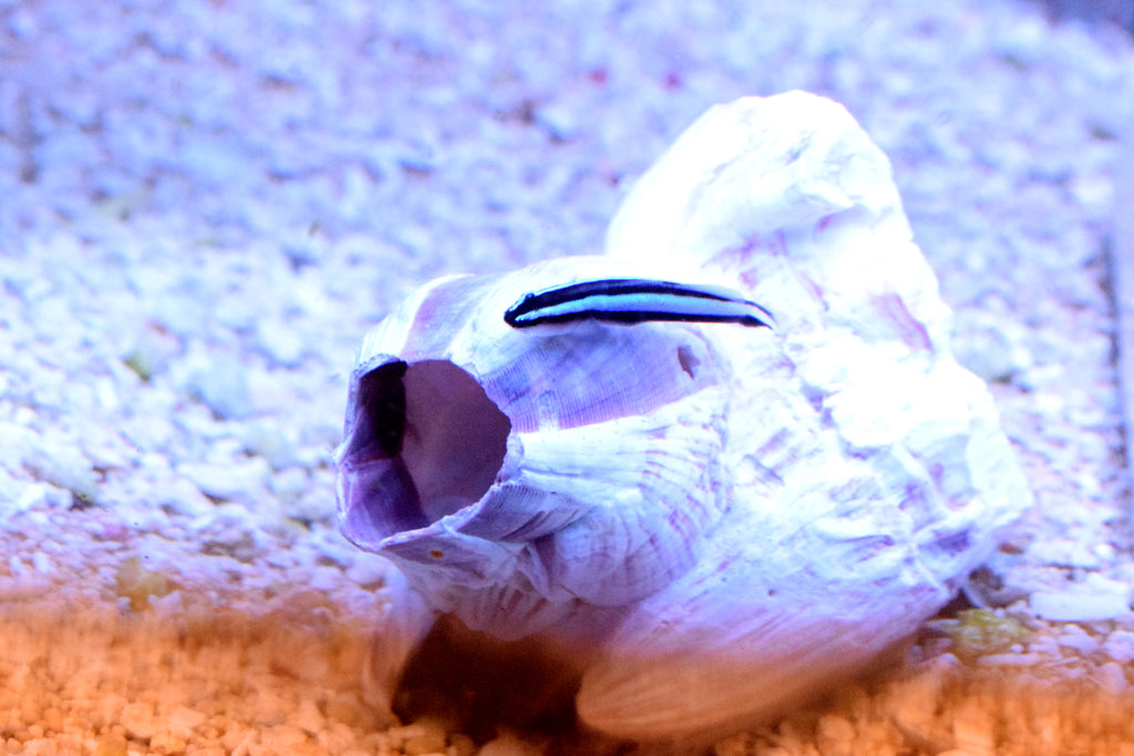 "1"" Blue Line Neon Goby"