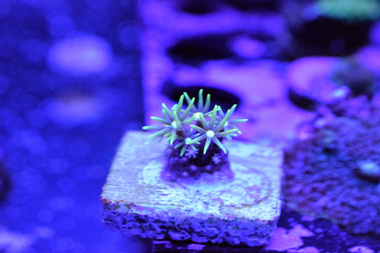 Green Star Polyp Frag