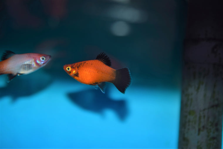 Red Wag Platy