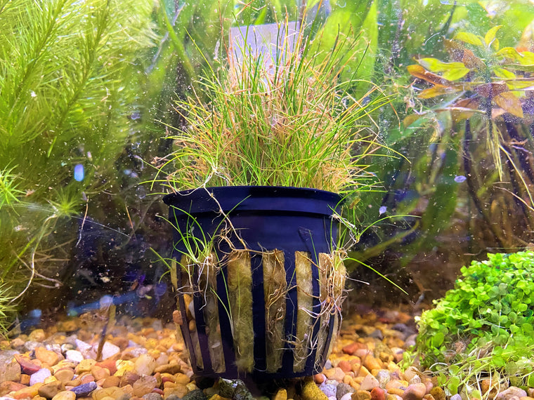 Mini Dwarf Hairgrass