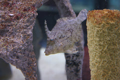 "2""-3"" Matted Filefish"
