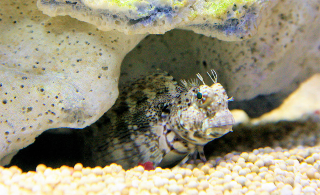Algae Blenny