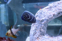 "2""-3"" Imperator Angelfish (Juvenile)"