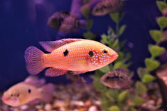 "2"" Red Jewel Cichlid"