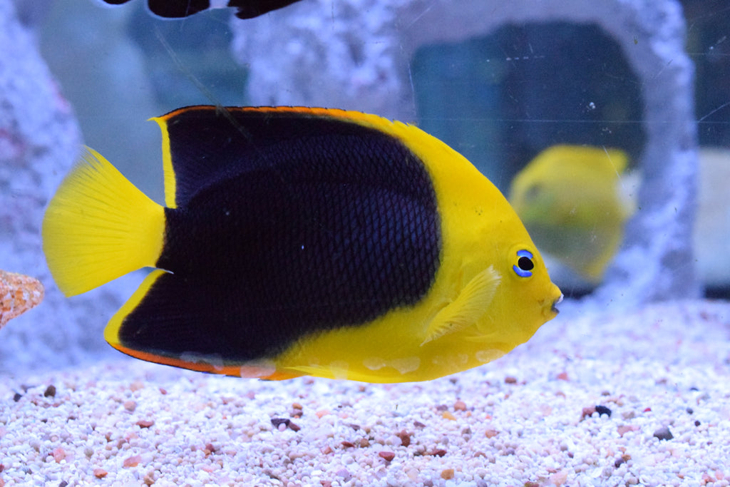 "3"" Rock Beauty Angelfish"