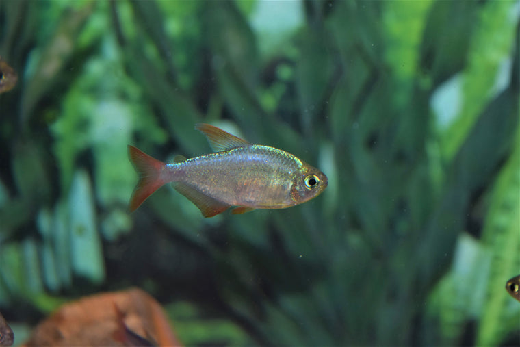 Colombian Red Fin Tetra
