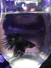 "1""-1.5"" Black Orchid Crowntail"