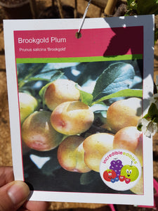 Plum Brookgood #05
