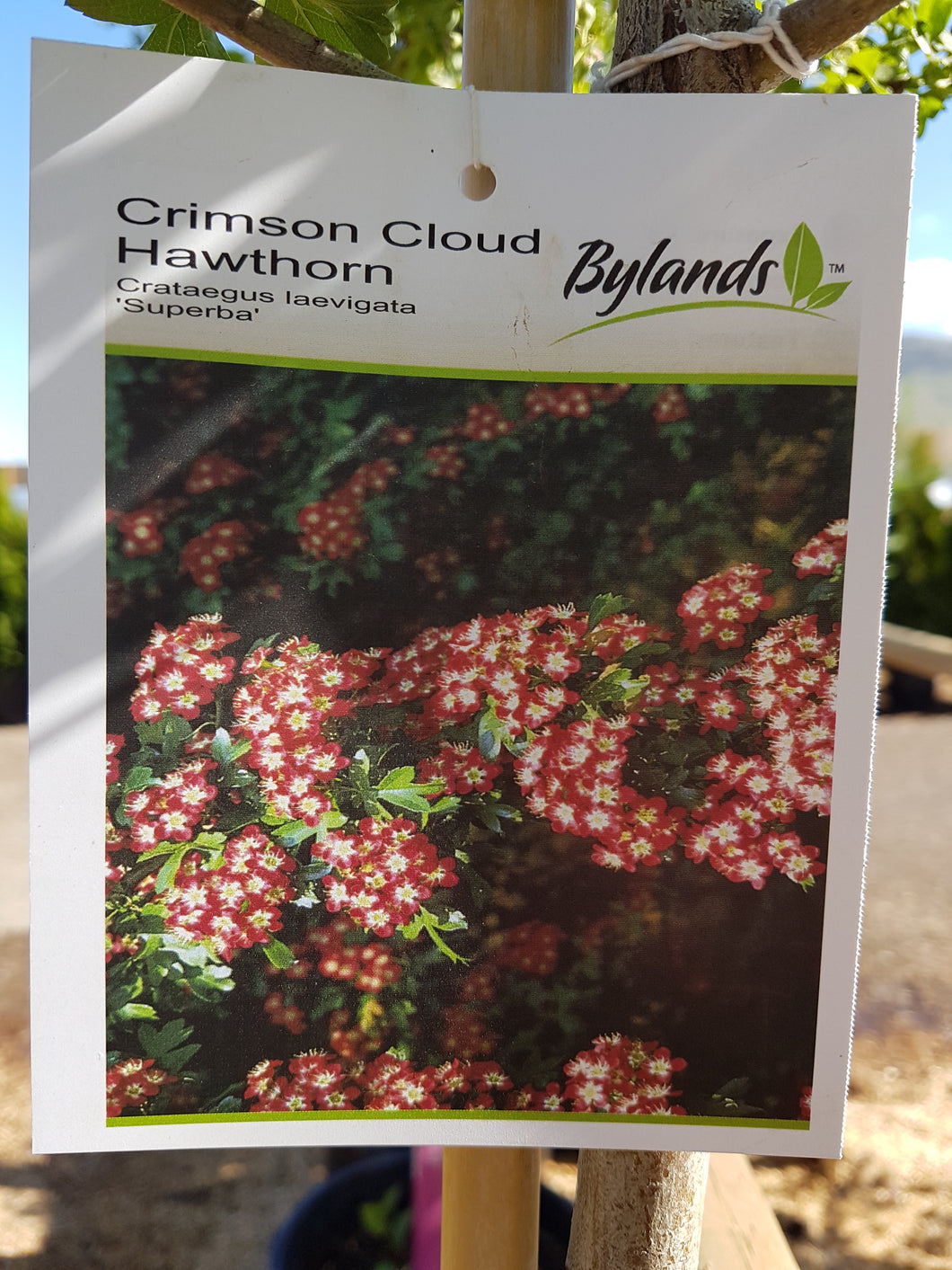Crimson Cloud Hawthorn #10