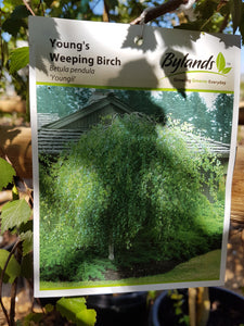 Young's Weeping Birch #05