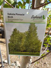 Dakota Pinnacle Birch #10
