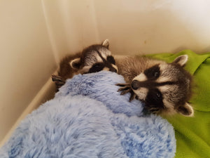 Two baby raccoons rescued after dog attack in Tofino
