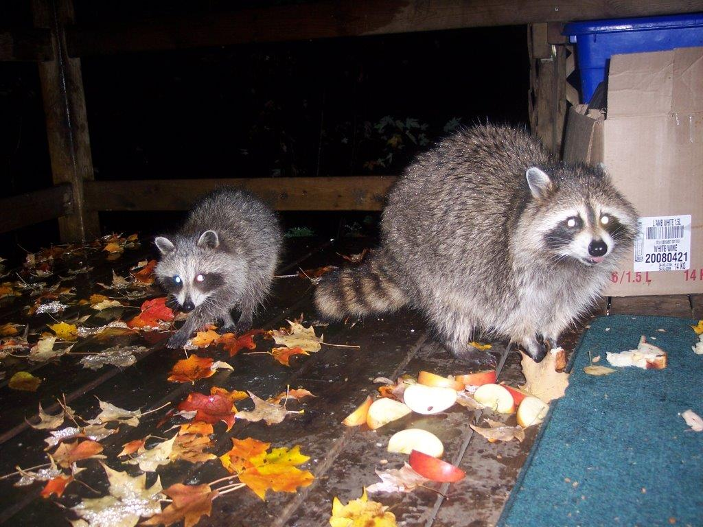pet raccoons at the shorkey house
