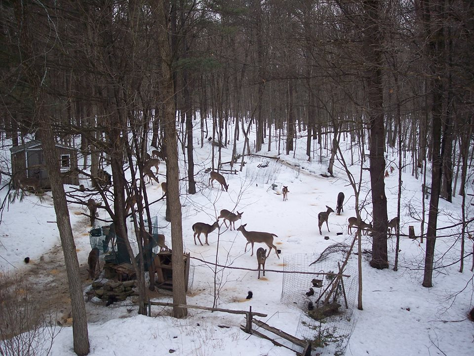 deer in backyard winter wonderland in the ottawa valley