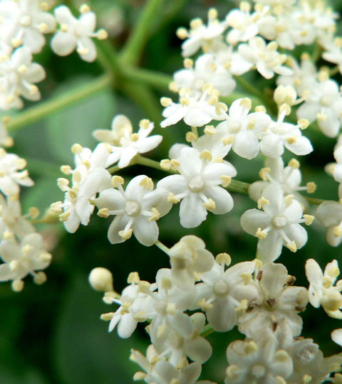 5 Reasons Elderflowers Are the Stuff of Fantasies