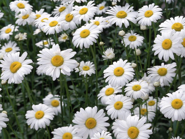 6 Ways Chamomile Saves Your Skin