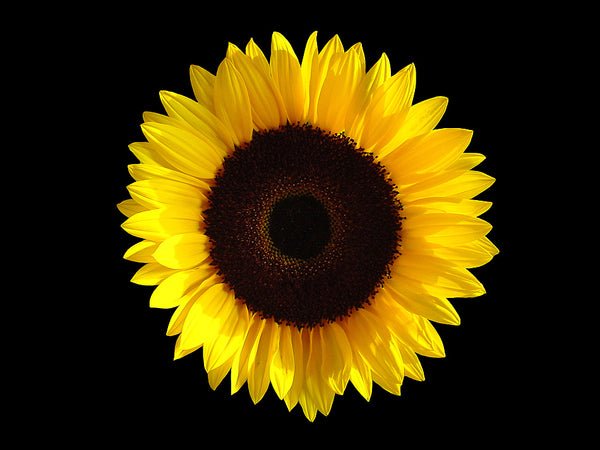 7 Reasons Sunflowers Make for Sensational Skincare