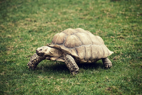 100 year old tortoise, Fred, escapes
