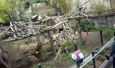 Panda Cam, San Diego Zoo, California, USA