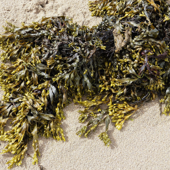 Why Seaweed Should Be A Staple In Your Home