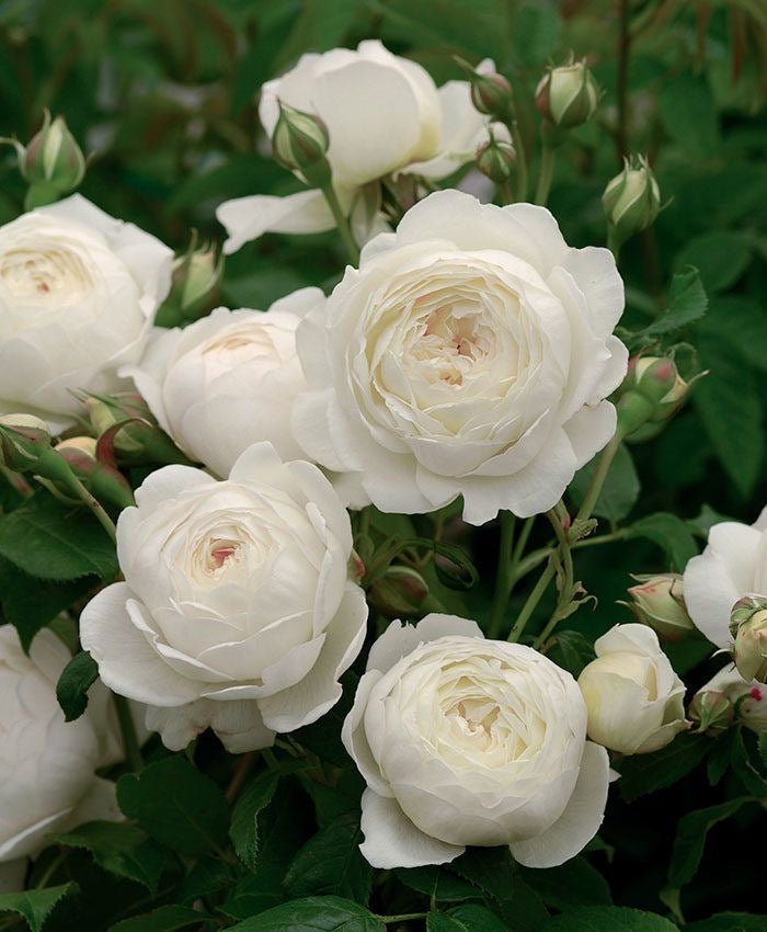 8 Lessons From Rose's Perennial Beauty