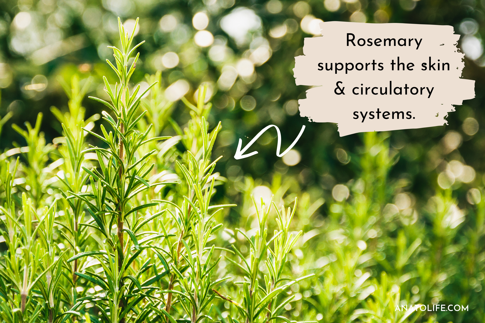 Rosemary supports the skin & circulatory systems