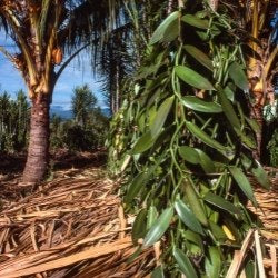 a history of madagascar vanilla and how its processed and used in candles real