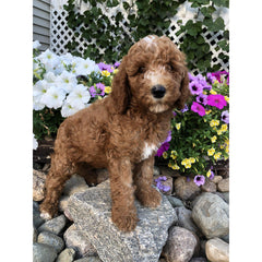 Destiny, one of our poodle puppies for sale