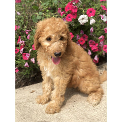Gil, one of our standard poodle puppies for sale