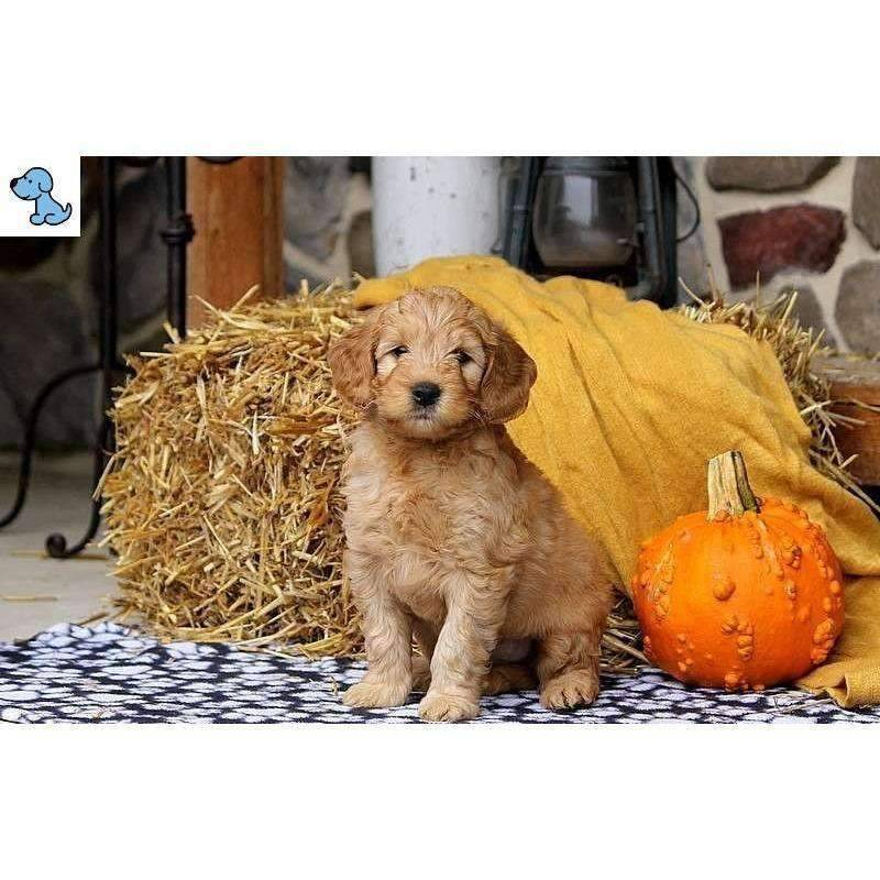 Buddy | Mini Goldendoodle-HelloPuppy