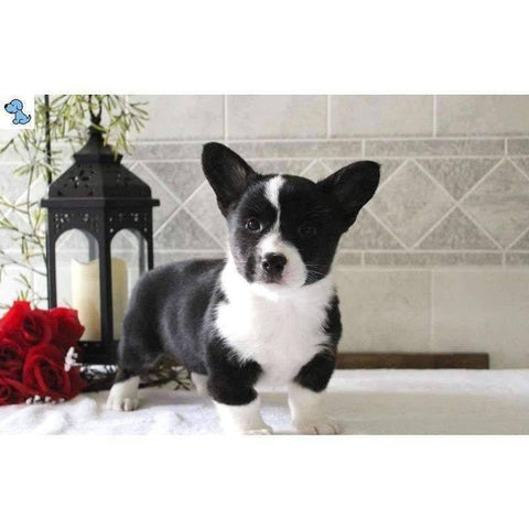 Buddy | Pembroke Welsh Corgi-HelloPuppy