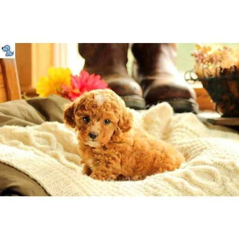 Fern | Toy Poodle