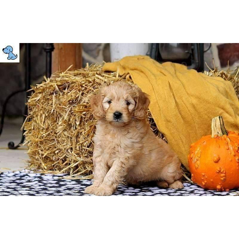 Frisky | Mini Goldendoodle