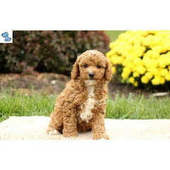 Hopper | Miniature Poodle