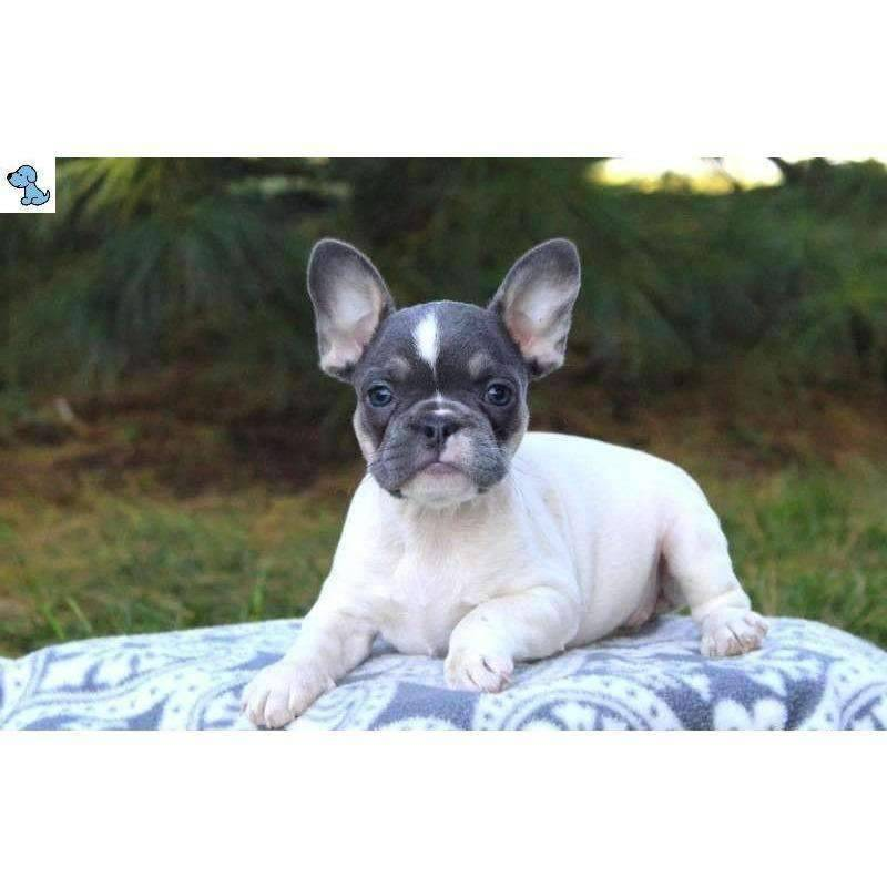Lexi | French Bulldog