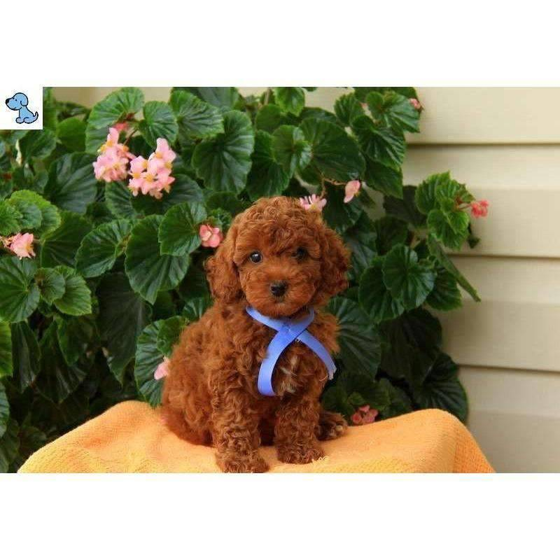 Linny | Toy Poodle