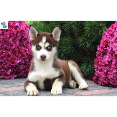 London | Siberian Husky