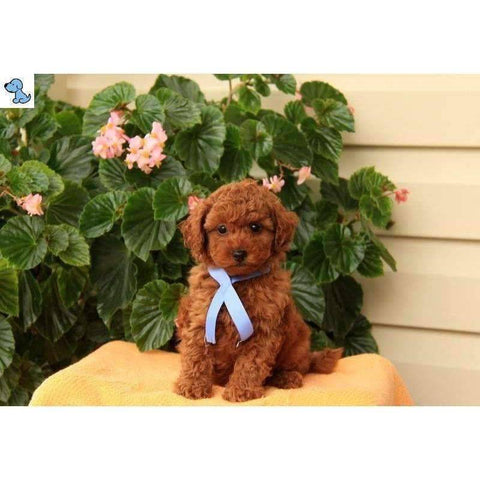 Louie | Toy Poodle-HelloPuppy