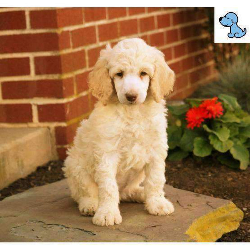 Lovely Rita | Standard Poodle