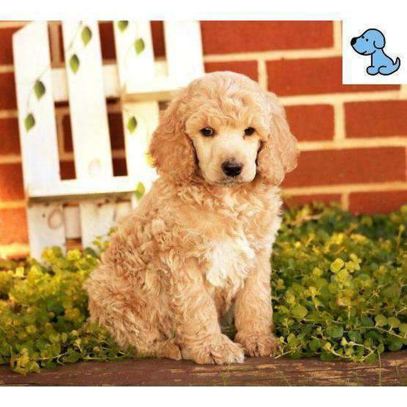 Mocha My Friend | Standard Poodle-HelloPuppy