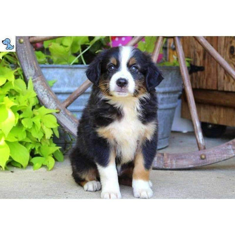 Snickers | Mini Australian Shepherd-HelloPuppy