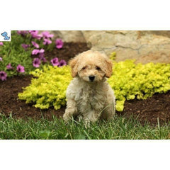 Tabby | Toy Poodle